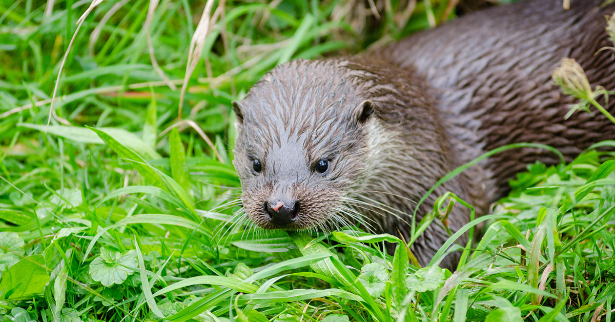 Could otters be returning to Greater Manchester?